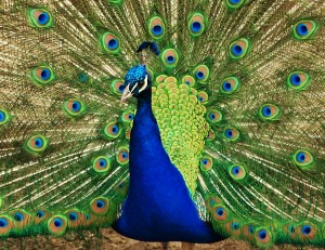 A showy peacock