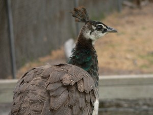 The female peahen is plain looking, and pretty much brown.